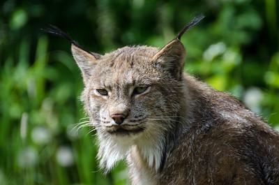 Lynx #2 - Kroschel Films Wildlife Center, Haines, Alaska