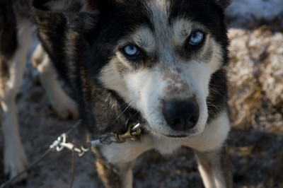Sled dog #11 - Brooks Range Mountains, Alaska