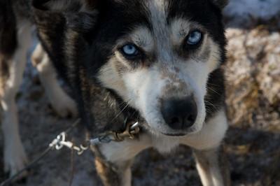 Sled dog #11 - Brooks Range Mountains, Alaska
