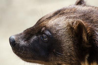 Wolverine #4 - Kroschel Films Wildlife Center, Haines, Alaska