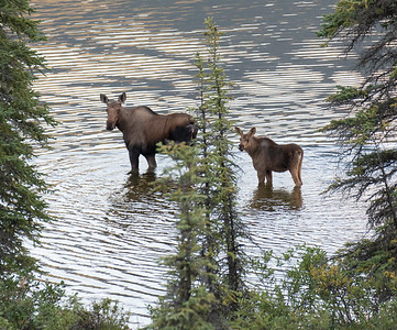 Moose Family  - Brooks Range Mountains, Alaska
