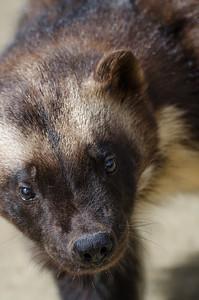 Wolverine #3- Kroschel Films Wildlife Center, Haines, Alaska