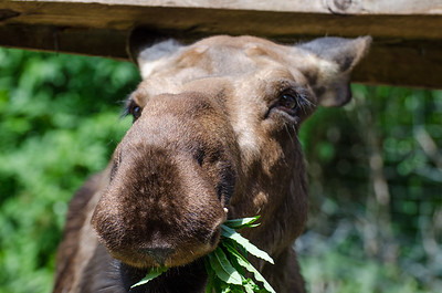 Moose - Kroschel Films Wildlife Center, Haines, Alaska