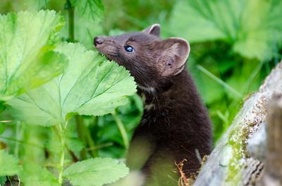 Martin #1 - Kroschel Films Wildlife Center, Haines, Alaska
