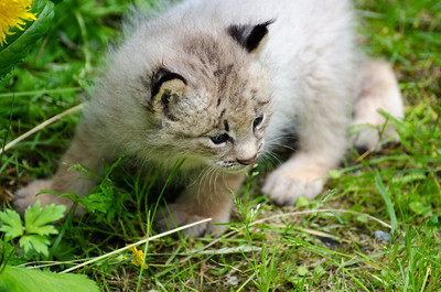 Young Lynx #2 - Kroschel Films Wildlife Center, Haines, Alaska