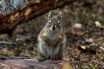 Red Squirrel #2 - Brooks Range Mountains, Alaska