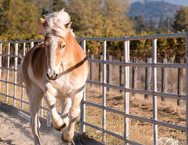 """Mike"" - Equi-Ed Therapy Horses_9, Sonoma County, California"