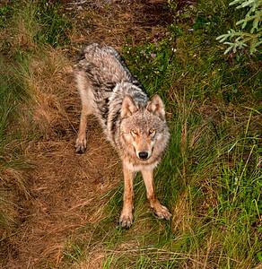 Wolf #1 - Brooks Range Mountains, Alaska