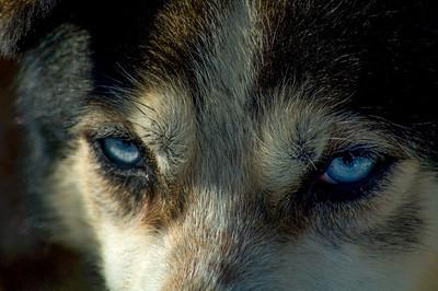Sled dog #9 - Brooks Range Mountains, Alaska