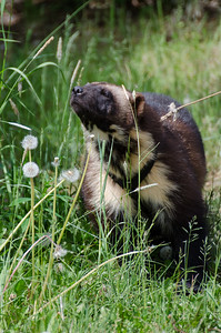 Wolverine #1 - Kroschel Films Wildlife Center, Haines, Alaska
