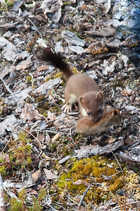 Weasel #2 - Brooks Range Mountains, Alaska