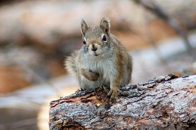 Red Squirrel #3 - Brooks Range Mountains, Alaska