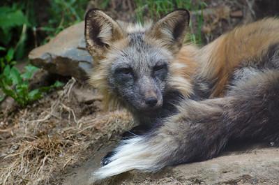 Fox #1 - Kroschel Films Wildlife Center, Haines, Alaska