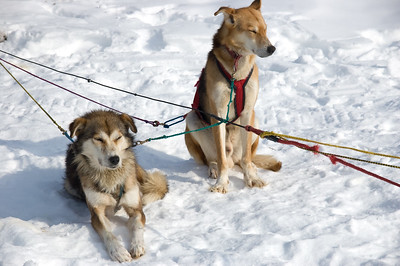Sled dog #8 - Brooks Range Mountains, Alaska