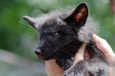 Fox #2 Kroschel Films Wildlife Center, Haines, Alaska