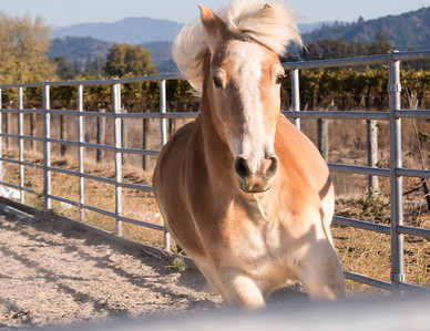 """Mike"" - Equi-Ed Therapy Horses_6, Sonoma County, California"