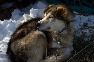 Sled dog #12 - Brooks Range Mountains, Alaska