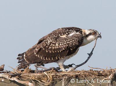 Orange Eye of Juvenile Osprey