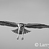 The Osprey's Six Foot Wingspan