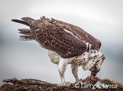 Osprey Devouring A Fish