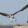 Osprey Comeback