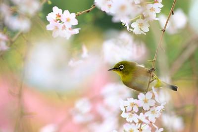 大寒桜の蜜を吸うメジロ