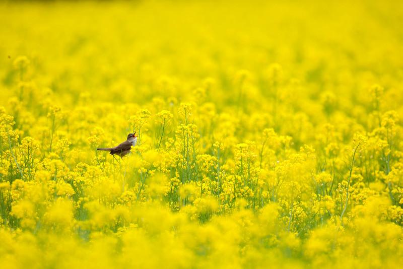 菜の花にとまったオオヨシキリ