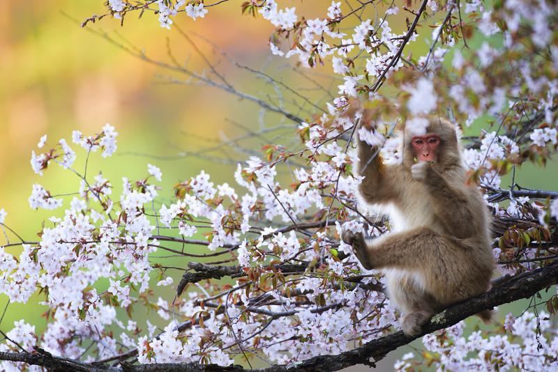 サクラの花を食べるニホンザル