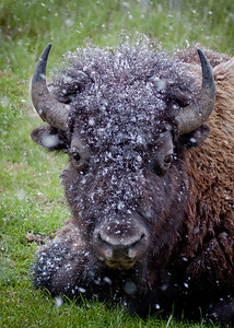Portrait of an American Bison First Snow