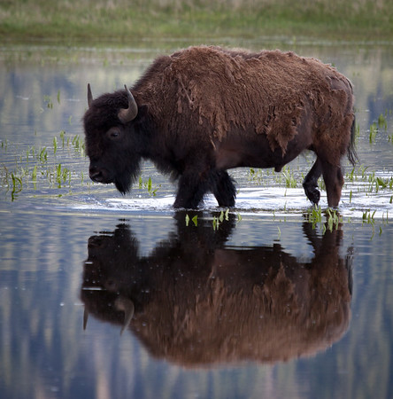 Bison Reflections