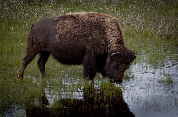 Narcissistic Bison