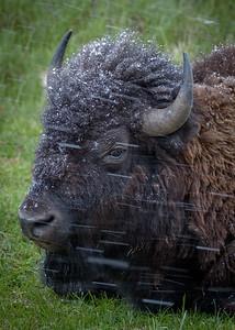 Bison First Snow