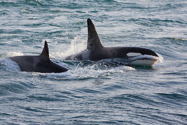 Snæfellsnes Orca 3