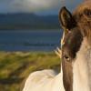Svinavatn pony