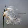Crisp Cotton