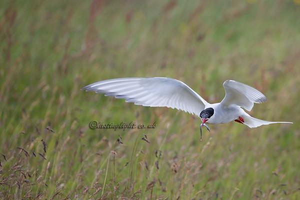 Tern in grass