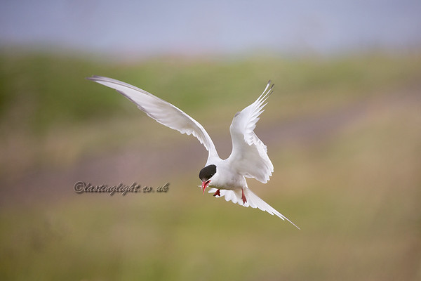 Tern in Green