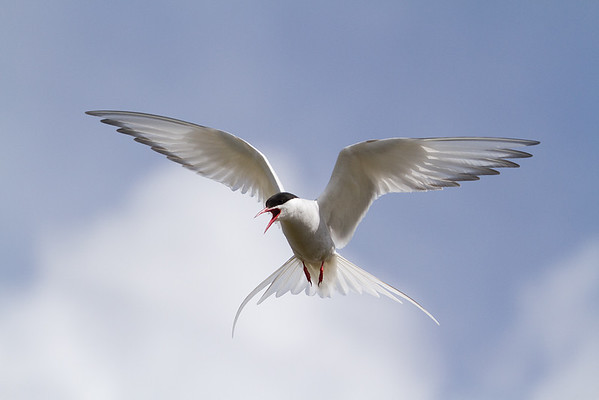 tern1