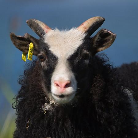 flatey-lamb