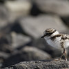 ringed-plover-chick