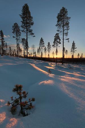 Trees @ sunset?