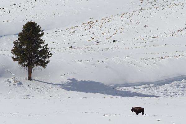 Lone bison, Blacktail Deer Plateau