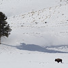 Lone bison, Blacktail Deer Plateau