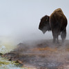 Bison and hot spring