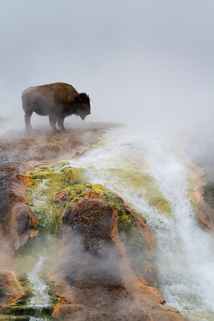 Bison, Excelsior outflow