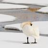 Trumpeter swan or Longneck duck
