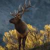 Yellowstone Bull