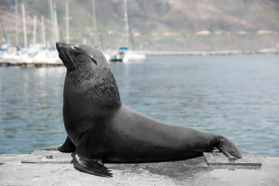 Seal in Cape Town