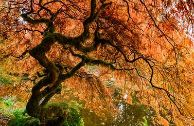 Japenese Maple
