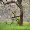 Mossy Oak, American River Parkway